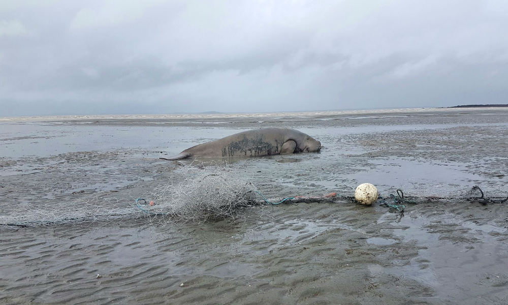 Dugong accidentally caught in gill net, near Mackay, Queensland, April 2018