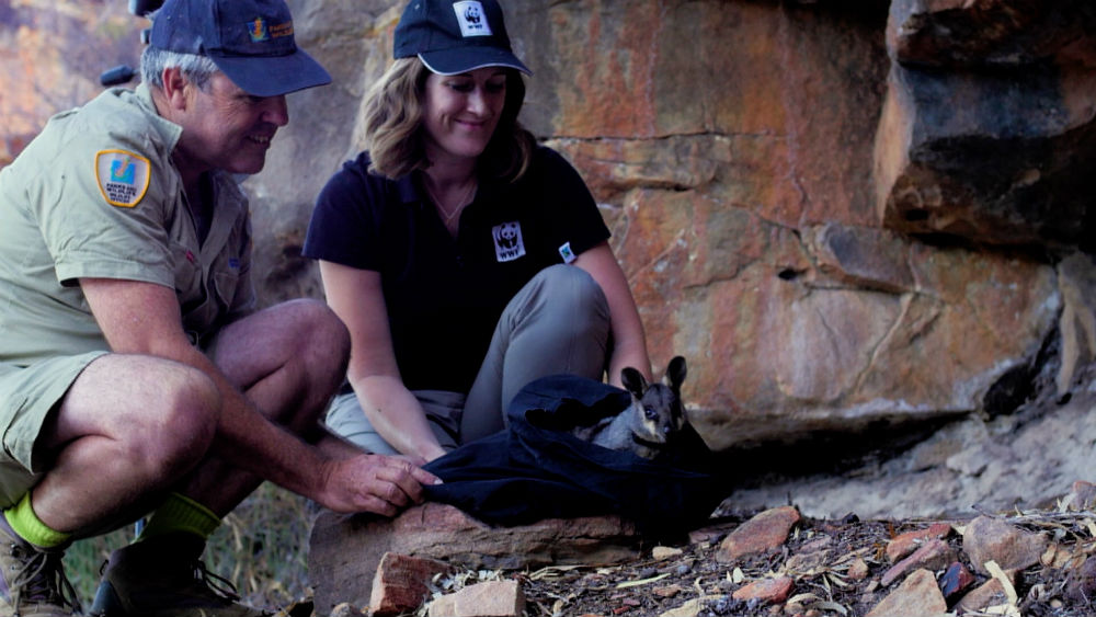 A black-flanked rock wallaby is released into Kalbarri National Park © Wild Vista / WWF - Aus