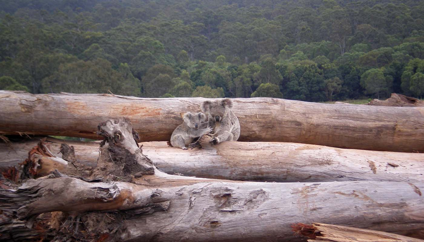 Koala mother and joey seeking refuge on a bulldozed logpile © Briano / WWF-Aus