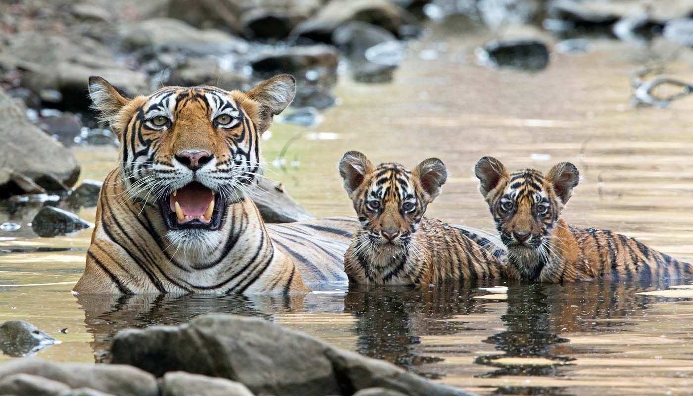 Bengal Tiger female  with cubs © naturepl.com / Andy Rouse / WWF