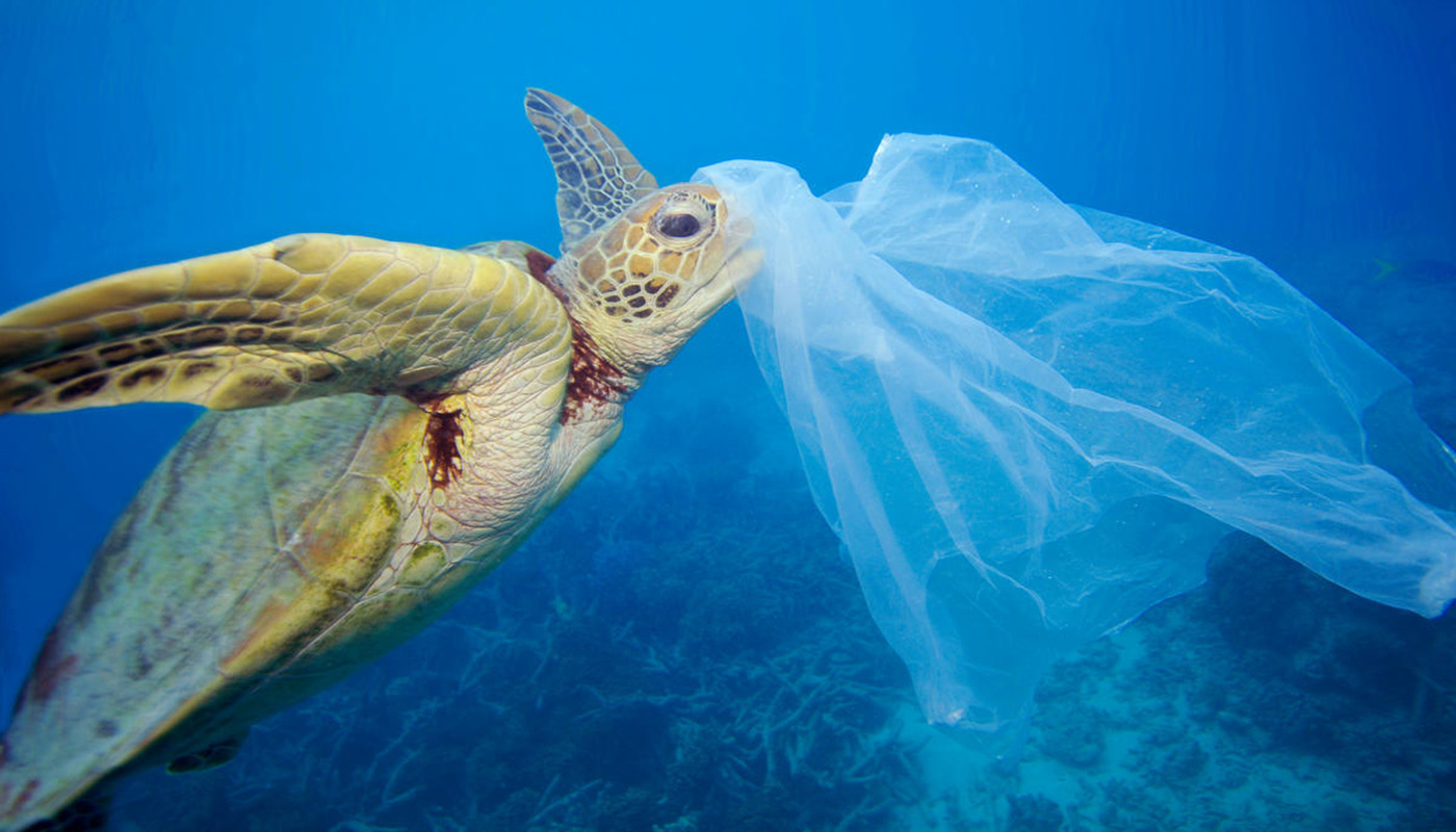 Green sea turtle (Chelonia mydas) with a plastic bag, Moore Reef, Great Barrier Reef, Australia © WWF / Troy Mayne