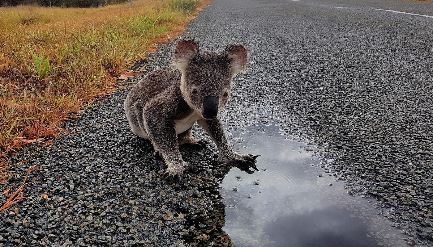 Koala drinking on the side of the road © Sue Gedda / WWF-Aus
