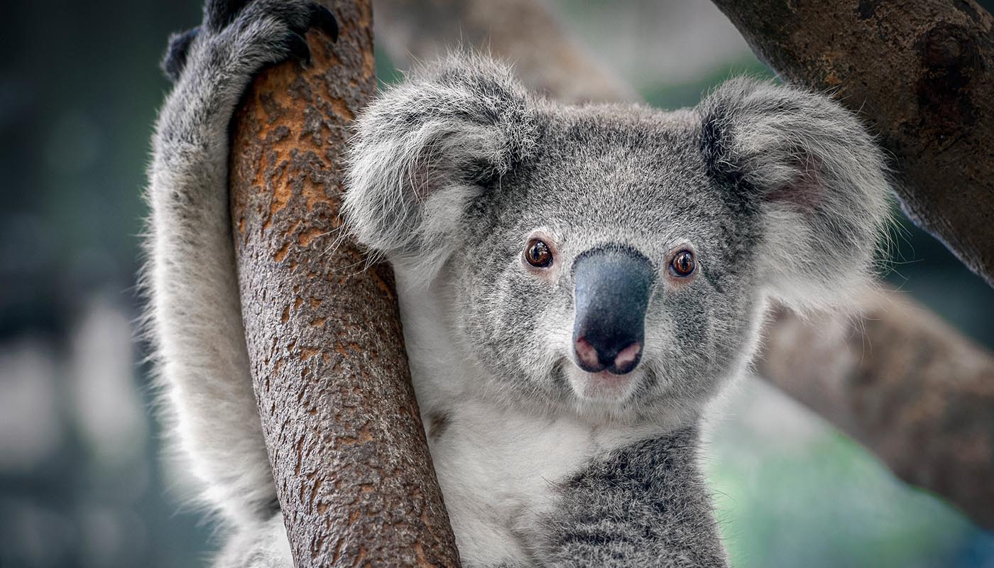 Koala (Phascolarctos cinereus) in a tree © Shutterstock / Yatra / WWF