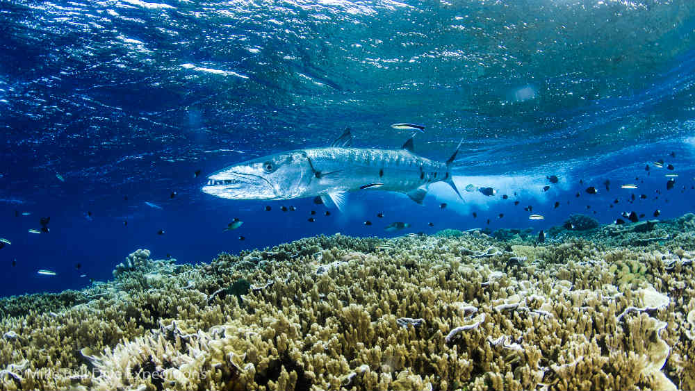 Barracuda (Sphyraena), Pixie Pinnacle, Great Barrier Reef © Mike Ball Dive Expeditions / WWF-Aus