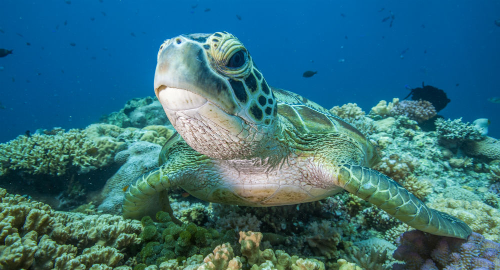 Green turtle on a reef © Mike Ball Dive Expeditions / WWF-Aus