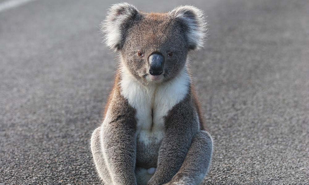 Koala sitting on road © Cheryl Ridge