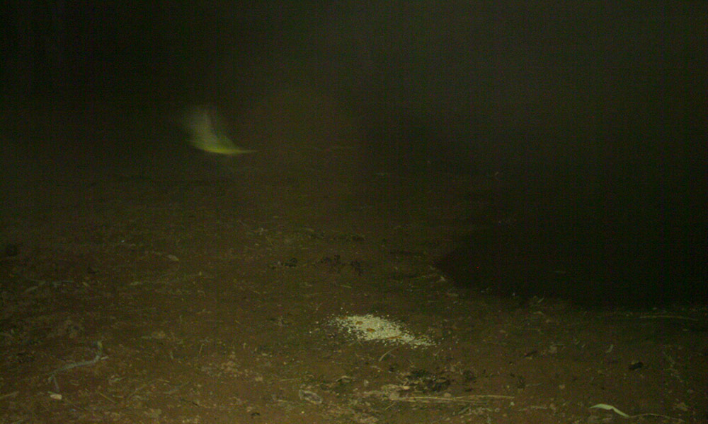 Camera trap photograph believed to be a night parrot taken on the night of 26 July 2017.  WWF-Australia's Dr Alexander Watson was supporting the Paruku Rangers during a survey for bilbies and the night parrot in the southern Kimberley © Kimberley Land Council
