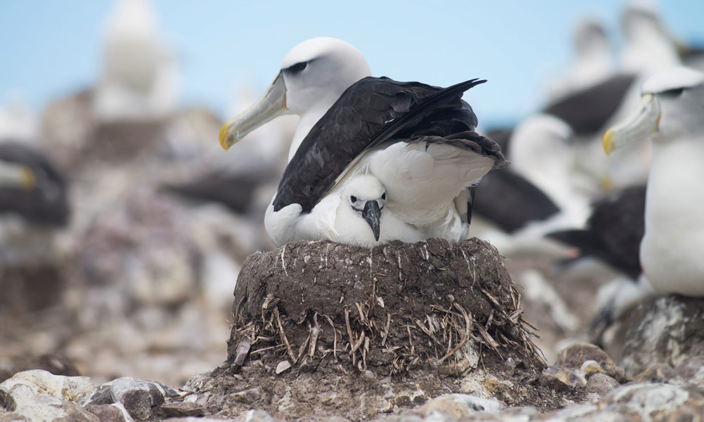 Shy albatross and chick on good nest, Bass Strait © 2017 Matthew Newton