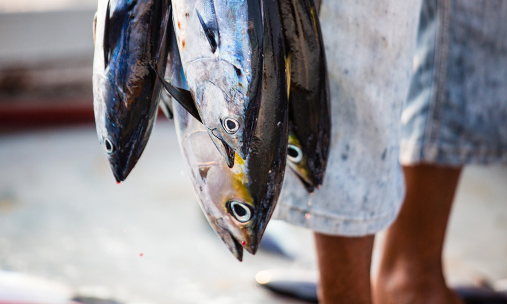 Skipjack tuna being fished with the 'pole-and-line' fishing method © Nice and Serious / MSC
