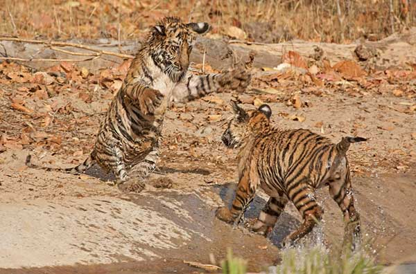 Playful tigers from Bandhvgarh Tiger Reserve. This is in Satpuda Maikal, a priority landscape for tiger conservation in India. © Rahul Talegaonkar / WWF-India