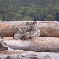 Koala mother and joey on bulldozed trees