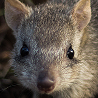 A northern bettong looking at the camera amongst leaves and grass © Stephanie Todd / JCU / WWF-Aus