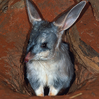 Portrait of greater bilby (Macrotis lagotis), Australia © Martin Harvey / WWF