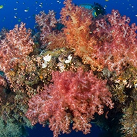Soft corals covering a natural reef arch, New Britain, Papua New Guinea © Jurgen Freund / WWF