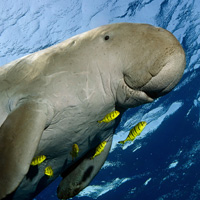 Dugong swimming in sea © Istockphoto.com / WWF