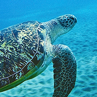 A green sea turtle swims in shallow water at Egypt's Red Sea © Andrey Nekrasov / WWF