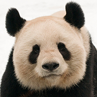 Male giant panda (Ailuropoda melanoleuca) portrait, lying on snow © naturepl.com / Edwin Giesbers / WWF