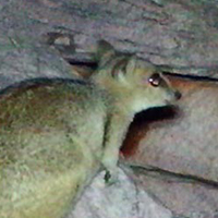 Nabarlek caught on sensor camera from surveys in the Kimberley © University of New England / WWF-Aus