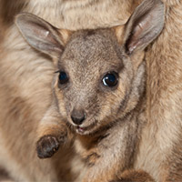 rock wallaby joey
