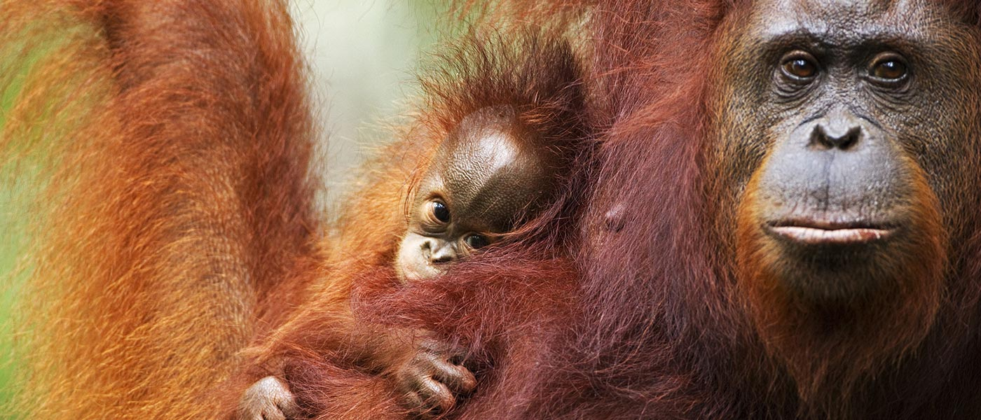 Bornean orangutan and baby, Tanjung Puting National Park, Central Kalimantan, Borneo, Indonesia © naturepl.com / Fiona Rogers / WWF