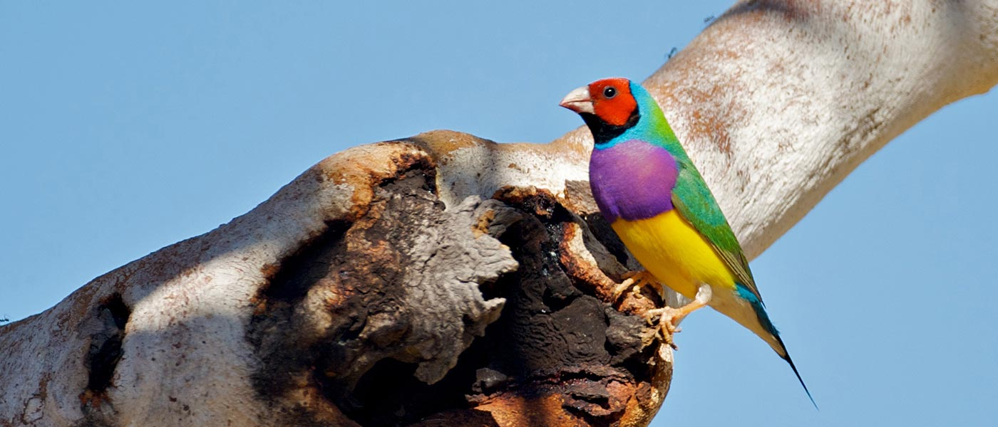 Gouldian finches on a branch © Mike Fidler