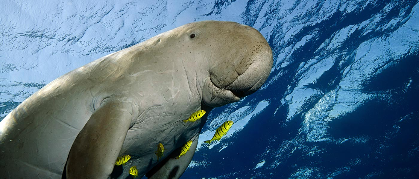A dugong swims in the ocean © istockphoto.com / WWF