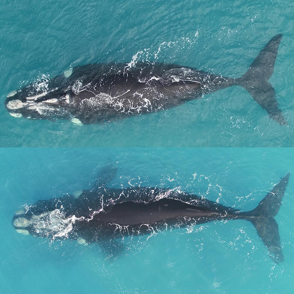 Southern right whale Bella (composite image) © Fredrik Christiansen / Murdoch University