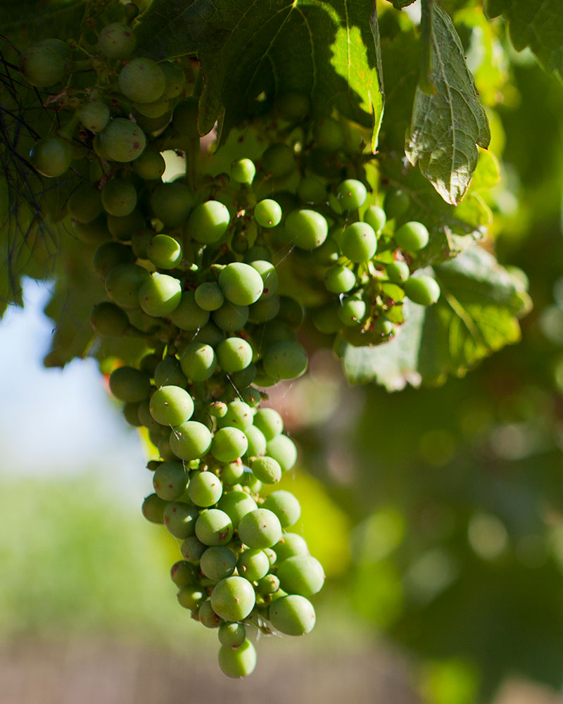 Grape from David Bruer vineyard in Langhorne Creek, South Australia © WWF-Aus / Jim Filmer