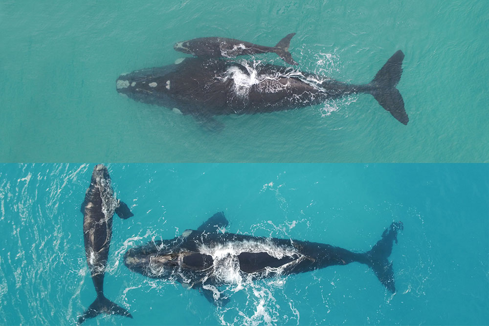 Maybeline, Southern right whale (composite image) © Fredrik Christiansen / Murdoch University