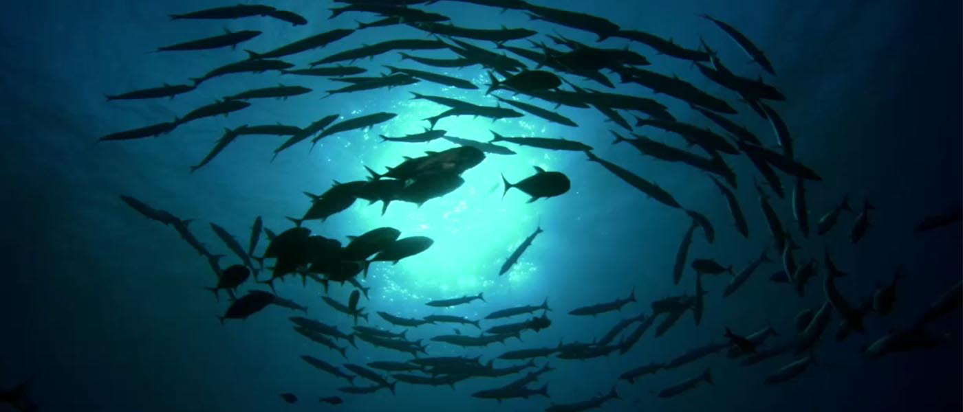 Barracudas swimming © Ocean Ark Alliance