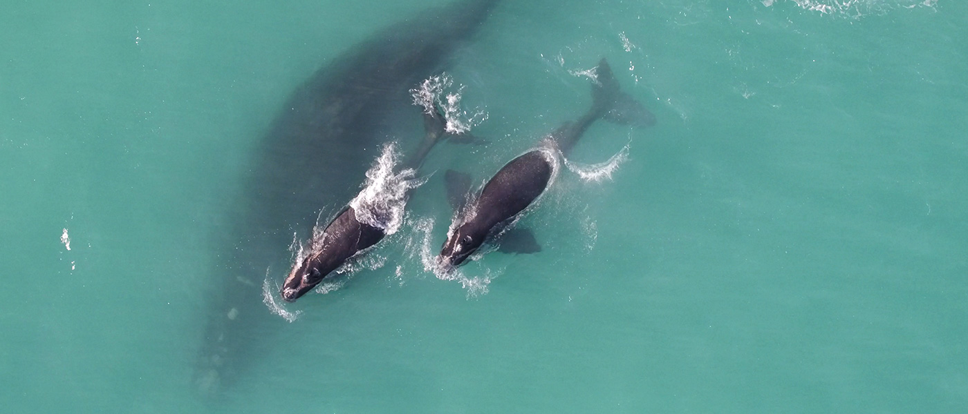 Southern right whale banner video background © Fredrik Christiansen / Murdoch University