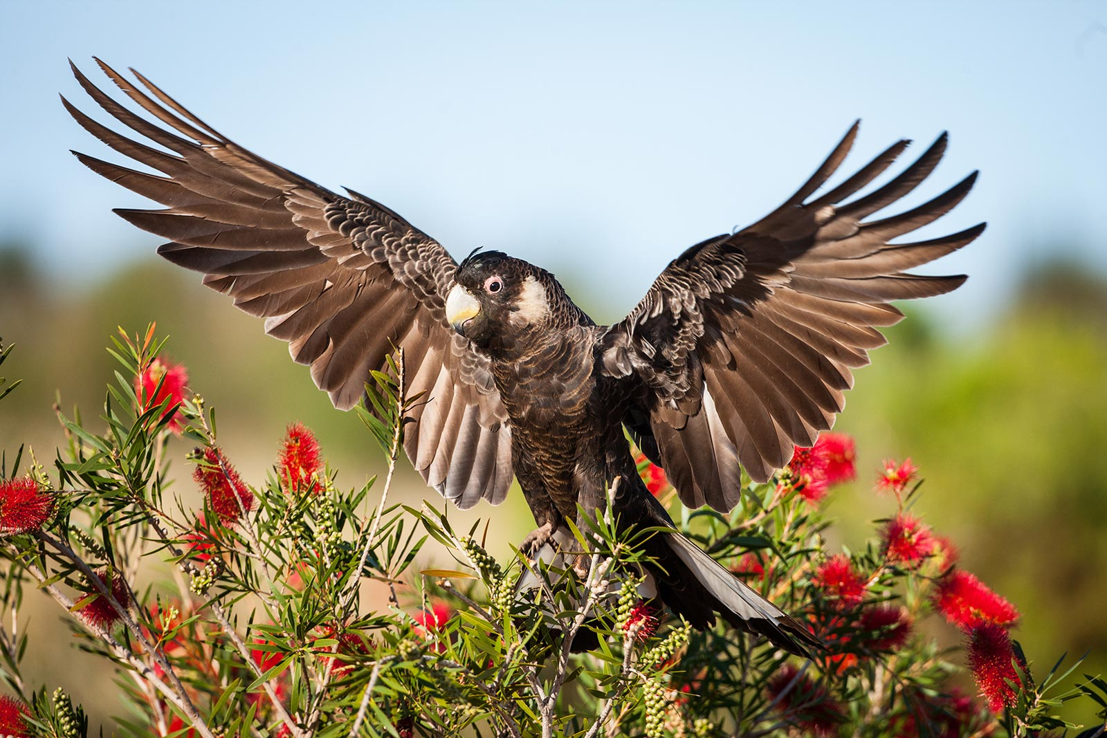 Carnaby's black cockatoo (Calyptorhynchus latirostris) displaying its wings. Western Australia © Georgina Steytler / WWF-Aus