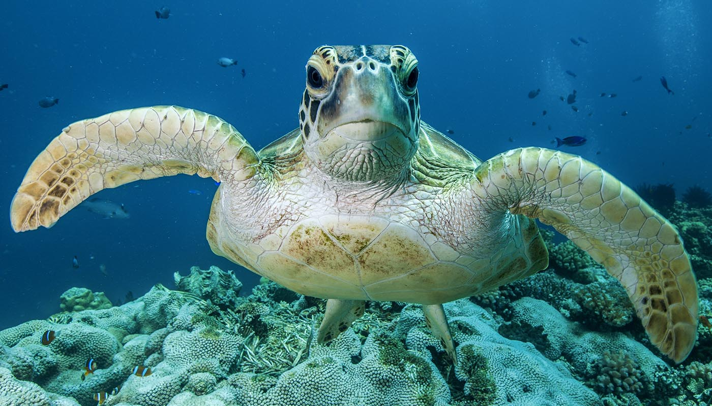 Green turtle (Chelonia mydas), Lighthouse Bommie, Great Barrier Reef © Mike Ball Dive Expeditions / WWF-Aus