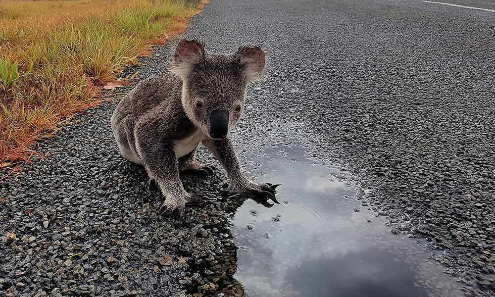 Koala drinking beside a central Queensland road, March 2017 © Sue Gedda / WWF-Aus